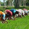 India Rice Project